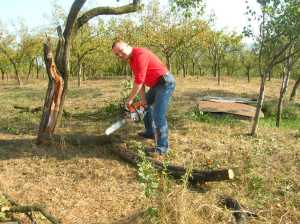 Helping dad in his orchard in rural Transylvania (county of Maramures)
